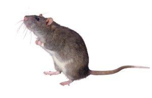 rats copy landing page designs